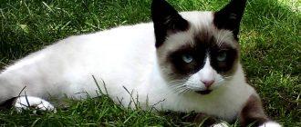 Американская короткошерстная кошка вс о породе