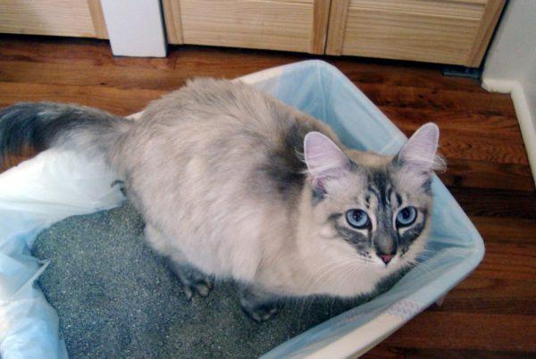 Хозяину необходимо знать, как часто кошка должна ходить в туалет