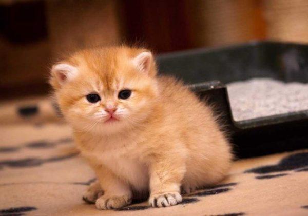 Маленькому коту не нужно объяснять необходимость влаги для организма, поэтому научить его лакать из миски несложно