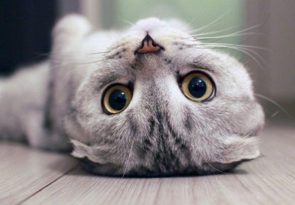 Точным знаком кошачьей привязанности служит «топтание», когда кошка переминается с лапки на лапку и слегка выпускает коготки