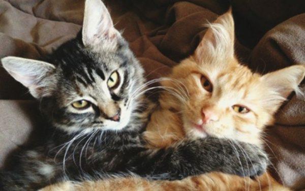 Подружить двух кошек в одной квартире не так-то просто, хотя и возможно