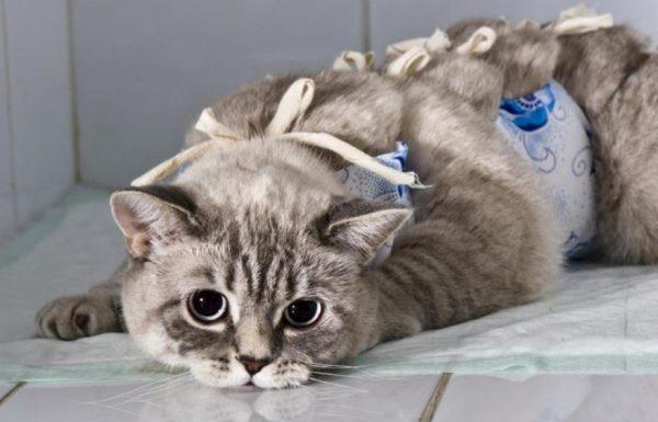 От грамотного послеоперационного ухода зависит, как быстро восстановится кошка после стерилизации