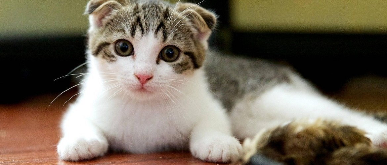 Подходящие клички для вислоухих кошек