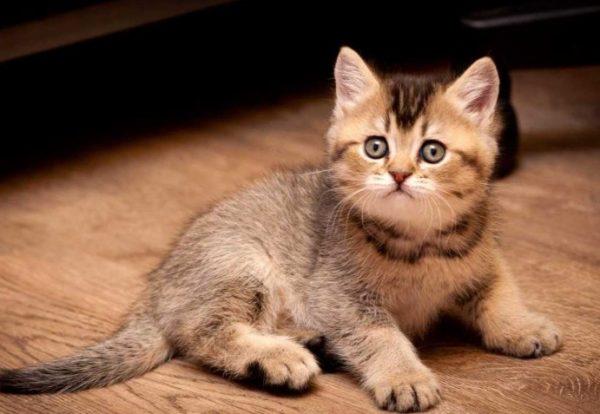 Чтобы котенок хорошо запомнил, где его отхожее место, и не делал промахов, хозяину нужно научиться распознавать сигналы питомца