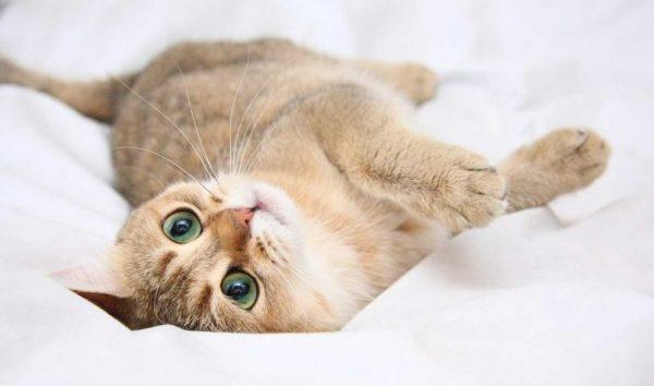 Период полового созревания у молодой кошки проходит в целом спокойно
