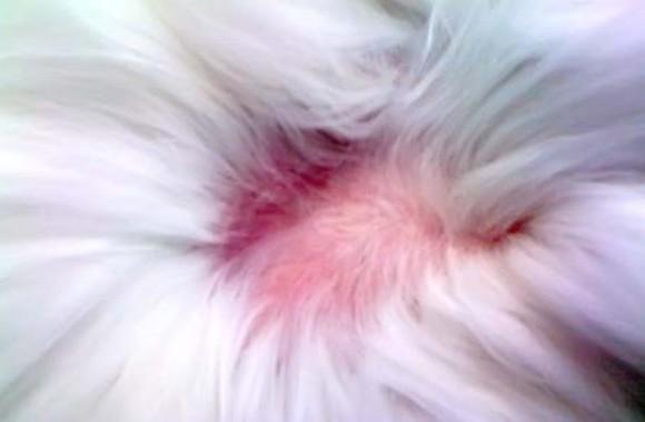 Если волос становится слишком много, появляются проплешины, животное ведет себя беспокойно