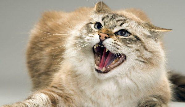 Раздраженность у взрослых животных провоцируется болезненным состоянием