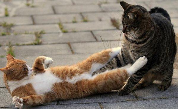 Часто прием успокоительных препаратов является хорошим способом нормализовать состояние кота