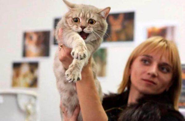 Чем лучше владелец подготовит своё животное к шоу, тем спокойней будет на самой выставке