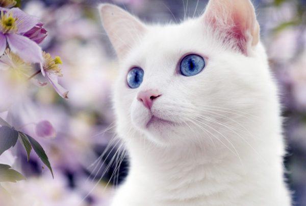 У котов-альбиносов пигмент в организме отсутствует полностью.