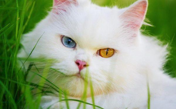 Кошки с разными глазами встречаются нечасто