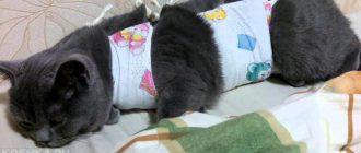 Уход за котом после кастрации. Кот после кастрации. Советы ветеринара после операции.