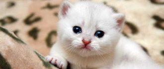 Как вызвать течку у кошки без лекарств Как вызвать течку у кошки и можно ли вязать ее