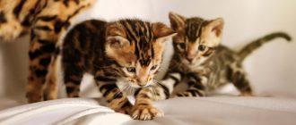 Что предпринять если кошка помечает территорию во время течки