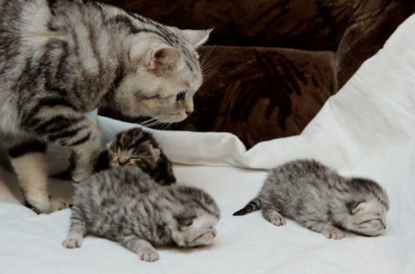 Котенок начинает пробовать взрослую пищу начиная с 3-й недели жизни