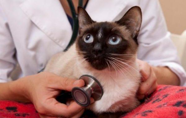 Калицивироз у кошек - инфекционная патология вирусного происхождения