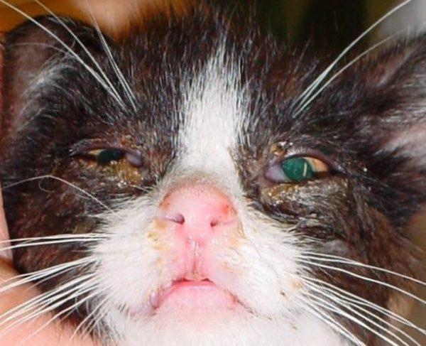 Кальцивироз на носу и глазах