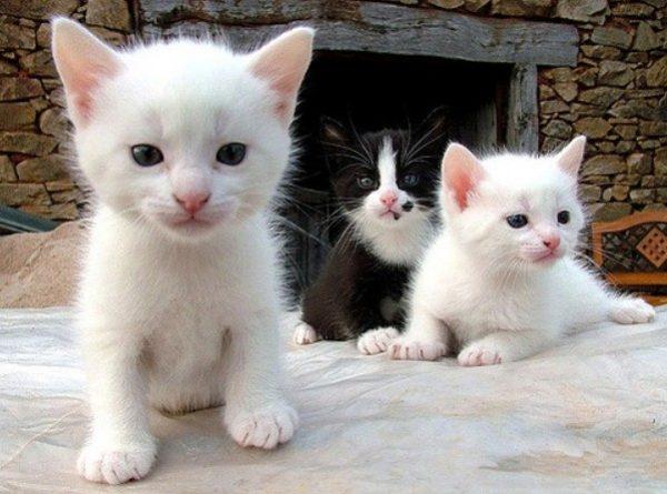Обычно кошка рожает 3-6 и более котят