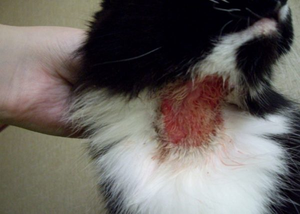 Общее состояние больного животного угнетенное, при зализывании и расчесывании язв животное может жалобно мяукать