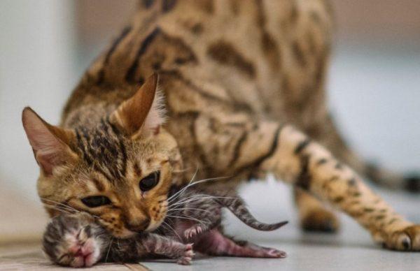 Воспалительный процесс в детородном органе у кошки развивается при попадании инфекции в матку