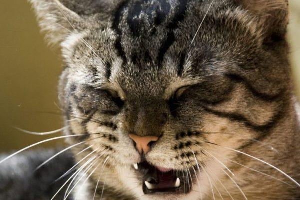 Обычно ситуация, когда кошка кашляет, да ещё при этом хрипит, приводит в замешательство её владельца
