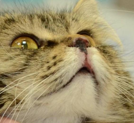 Поражение на носу верхней губы у взрослого кота на фоне калицивирусной инфекции, заболевание развилось после того, как владельцы подобали на улице молодого, внешне здорового котенка