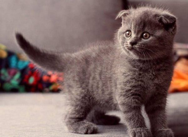 Правильное питание котенка любой породы - залог крепкого здоровья питомца