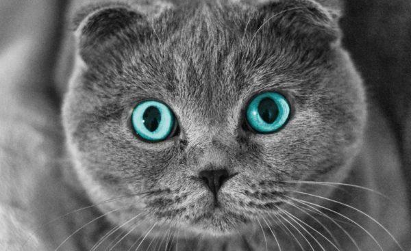 После стерилизации/кастрации шотландские кошки и коты склонны к ожирению