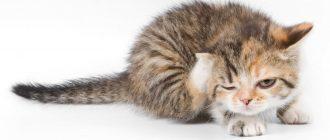 У кота над глазом ранка чешет всегда. Почему кошка расчесывает себя до болячек? Инфекционные заболевания кожи