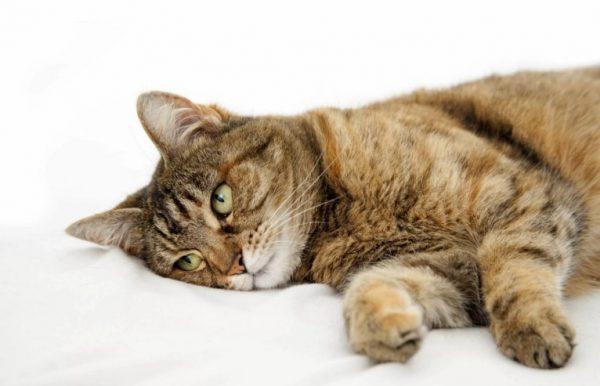 Для кошек используется раствор для инъекций концентрацией 2,5%