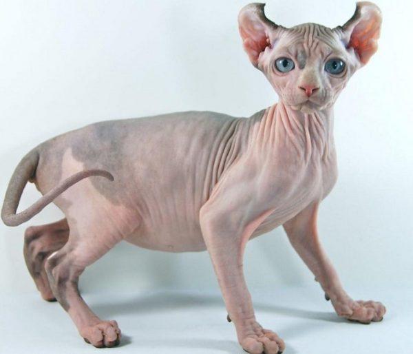 Кот породы Эльф