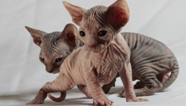 Бесшерстные кошки нуждаются в особом комфорте