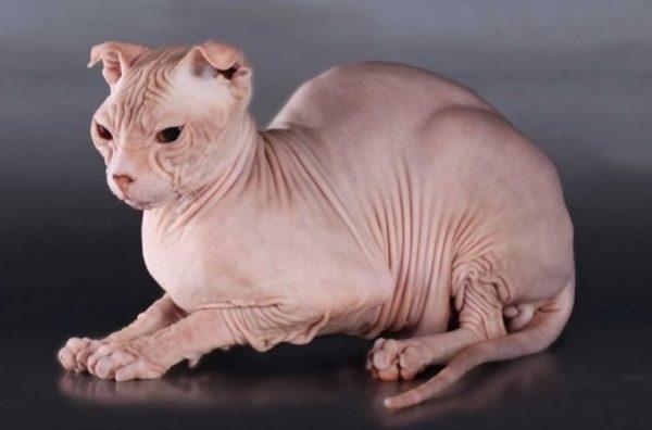 Лысые кошки отличаются хорошим аппетитом