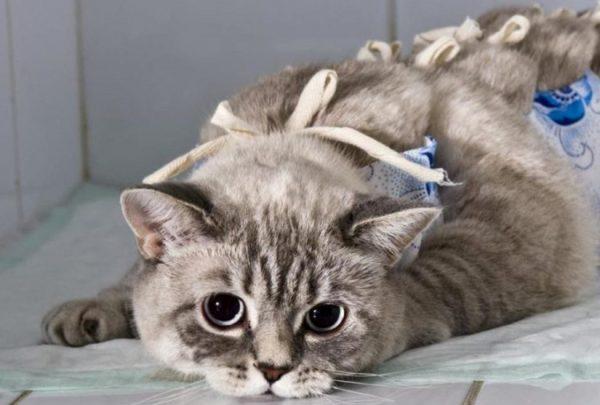 Если кошка ощущает слабость, не притрагивается к еде даже на 2-3-и сутки