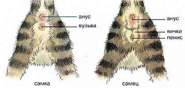 схематический рисунок расположения органов у разных полов