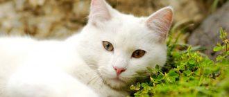 Клички для котов: имя для мальчика породы шотландской вислоухой