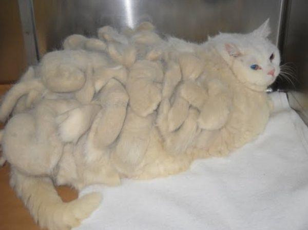 Длинношерстные представители семейства кошачьих требуют постоянного ухода за шерстью