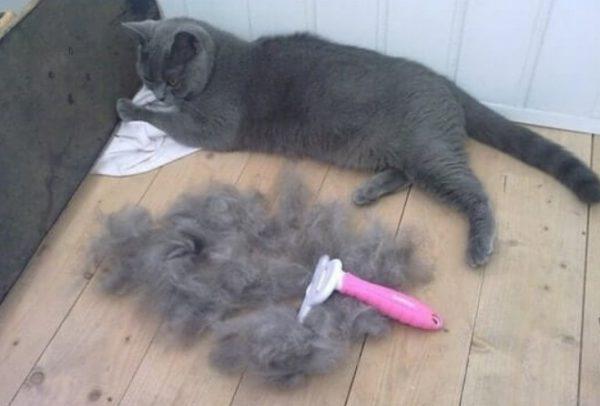 Устранение колтунов является неприятной, но крайне необходимой для кошки процедурой