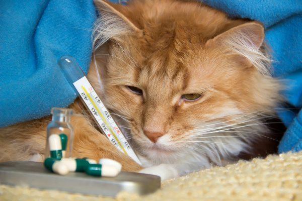 Простуда у кошек: симптомы и лечение, причины заболевания, как определить, передается ли человеку