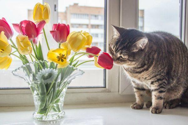 Кот ест тюльпаны: это опасно?