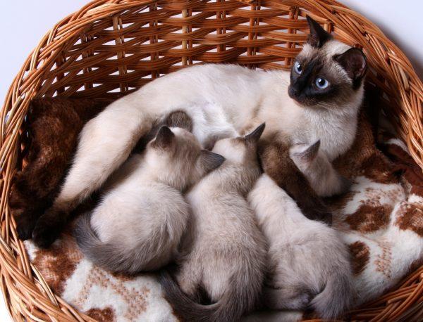 Почему питомица прячет котят