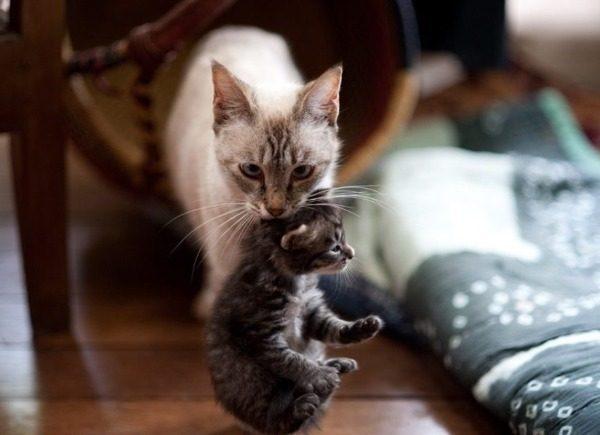 Кошка таскает котят, прячет и переносит в другое место: причины, что делать, что может случится