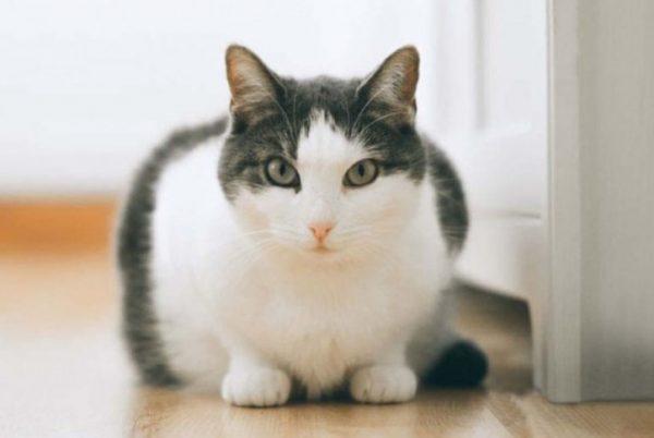 Гепатит у кошки: что это такое, причины