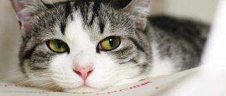 Конъюнктивит у кошки: виды, причины появления, лечение. Конъюнктивит у кошки