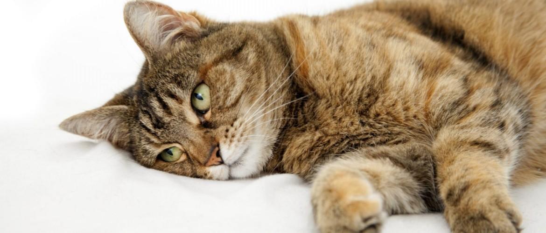 Почему у кошки горячий нос: что значит и что делать?