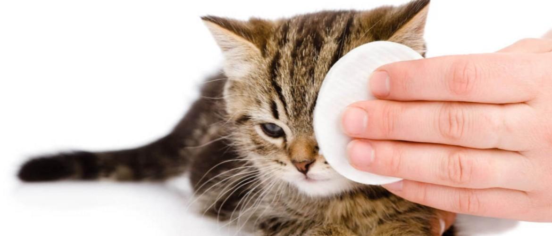 Почему у кота течет глаз что делать и чем лечить