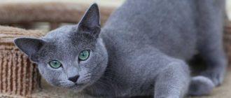 Как кастрируют котов: как делают дома или в клинике, способы, что удаляют