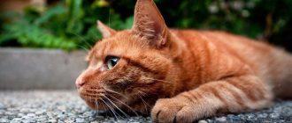 Как определить и вылечить конъюнктивит у кота. Лечим конъюнктивит у кошек в домашних условиях: симптомы, народные средства и лекарства