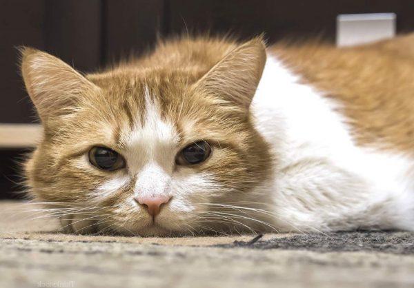 Что такое вирусный иммунодефицит у кошек: описание, пути заражения