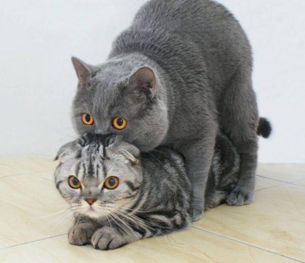 Половое созревание у котов и кошек: когда наступает, признаки